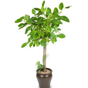 벵갈고무나무 고급