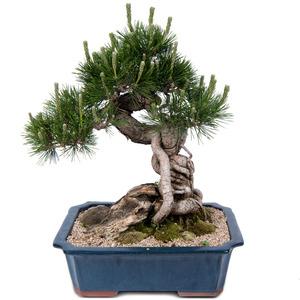 해송소나무 2